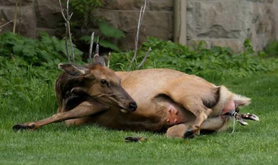 An Elk Is Born