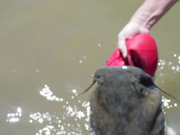 catfish with basketball stuck in it's mouth