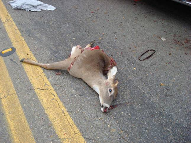 Deer Lands on Cab of Truck