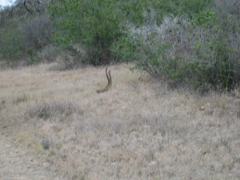 Texas Rattlesnakes mate