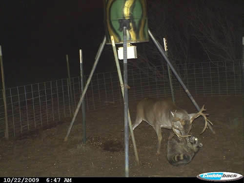 Buck Wrestles Coon Over Corn