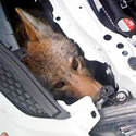 Coyote rescued from under the hood of a car