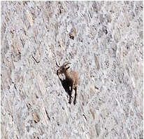 Big Horn Sheep - Buffalo Bill Damn - Cody Wyoming