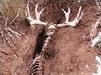Moose skeleton found in trench