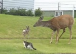 Mother Deer Attacks Dog