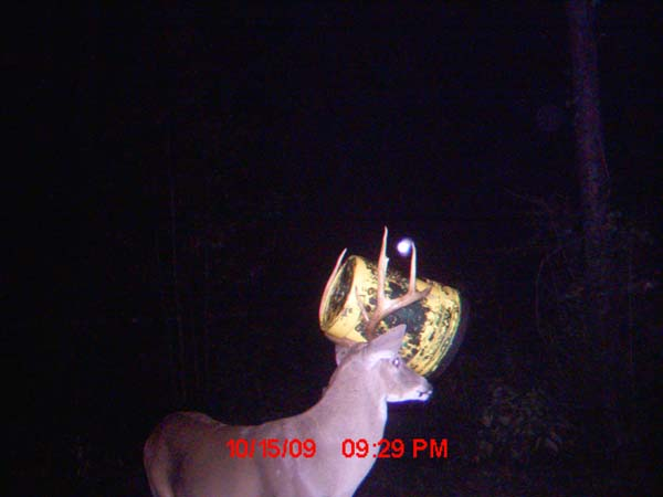 Buck with bucket stuck in his antlers