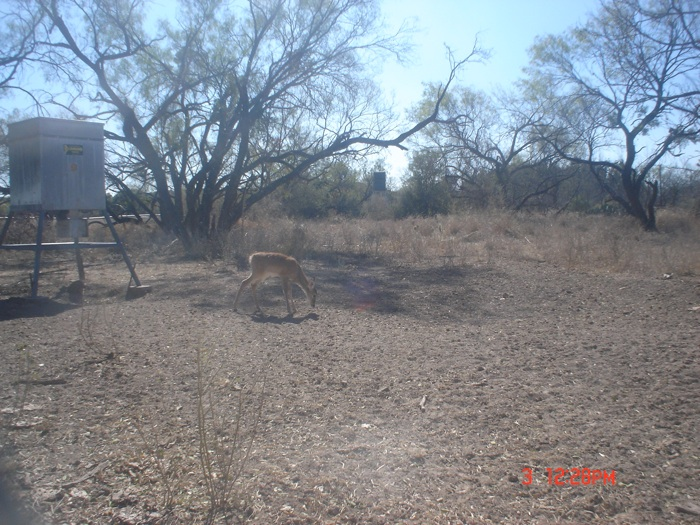 Cougar Takes Deer Caught On Game Cam
