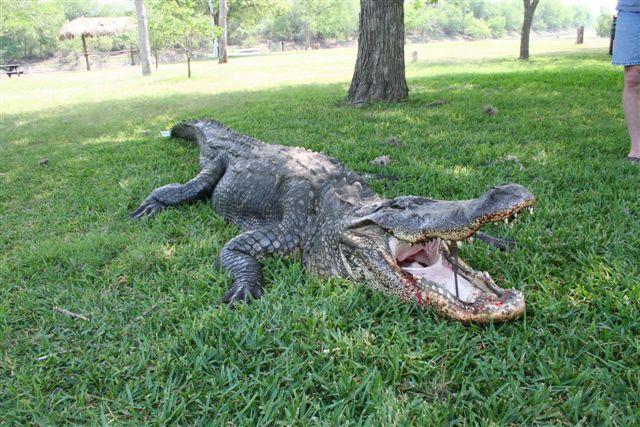 Nueces River Gator