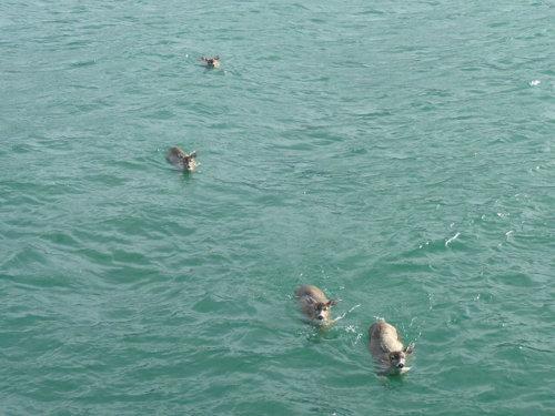Alaskan Sitka Bucks Swim To Safety