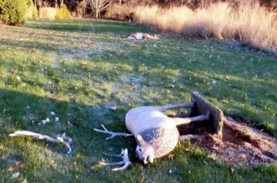 Buck vs Lawn Ornament Buck