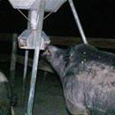 Big Ugly Hog