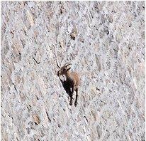 Big Horn Sheep - Buffalo Bill Damn - Cody Wyoming